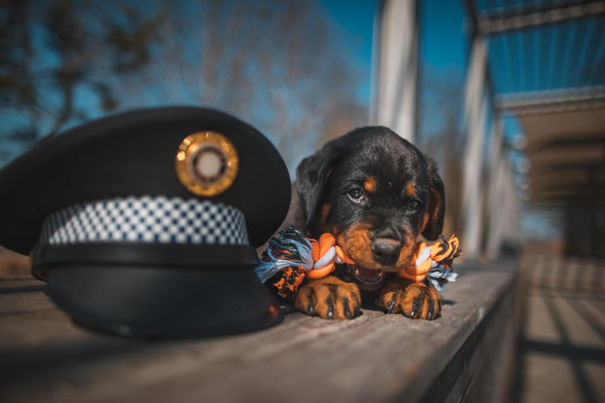 Sonny, který k nám vloni touto dobo nastoupil jako zcela malé štěňátko, je nyní schopen služby, protože úspěšně získal Osvědčení o způsobilosti psa k použití u městské policie.