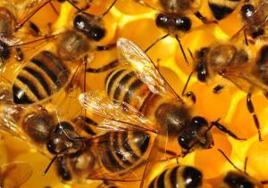 včely Čivice2