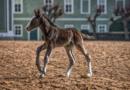 Národní hřebčín přivítal novorozená hříbata…
