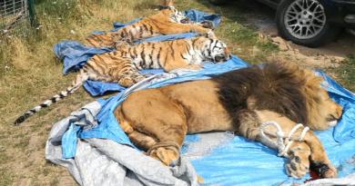Útěk lva a dvou tygrů v Bio parku Štít…