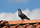 Sportovní holub z Polska si nejspíše spletl cestu…
